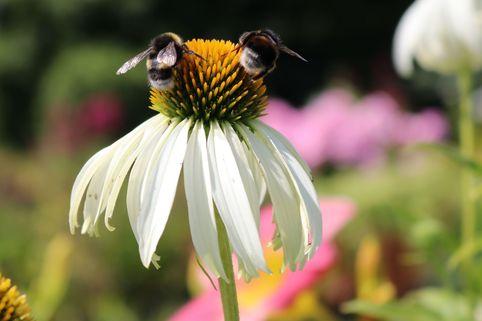 Weißblühender Sonnenhut 'Alba' - Echinacea purpurea 'Alba'