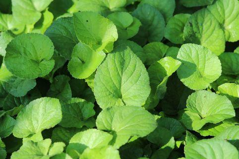 Weißblühendes Duft-Veilchen - Viola odorata forma alba