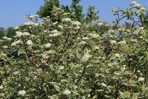 Weißbunter Purpur-Hartriegel - Cornus alba 'Sibirica Variegata'