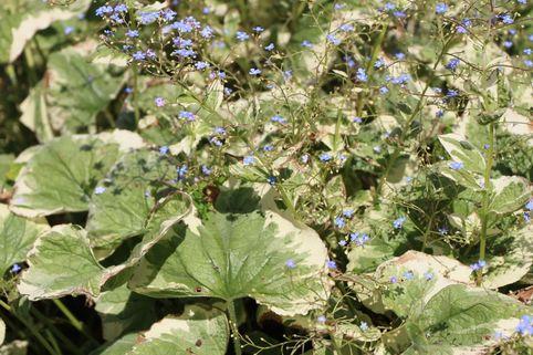 Weißbuntes Kaukasus-Vergissmeinnicht 'Variegata' - Brunnera macrophylla 'Variegata'