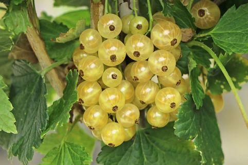 Weiße Johannisbeere 'Weiße Langtraubige' - Ribes rubrum 'Weiße Langtraubige'