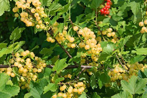 Weiße Johannisbeere 'Werdavia' - Ribes rubrum 'Werdavia'