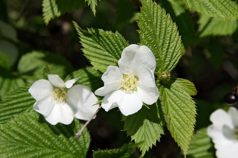Weiße Rosenkerrie / Scheinkerrie - Rhodotypos scandens