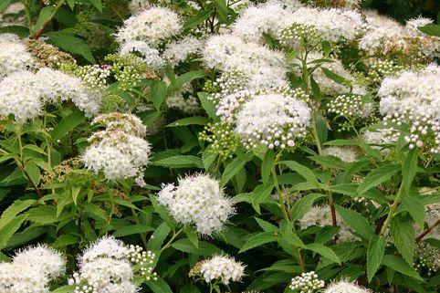 Weiße Zwergspiere 'Albiflora' - Spiraea japonica 'Albiflora'