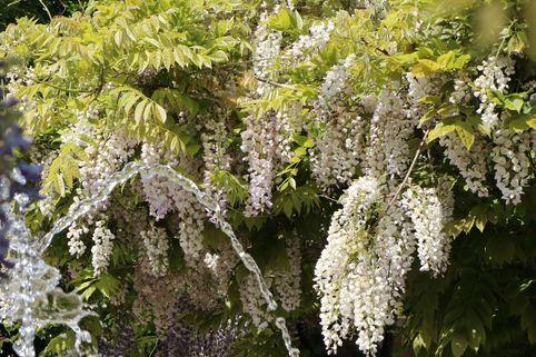 Weißer Chinesischer Blauregen 'Alba' - Wisteria sinensis 'Alba'