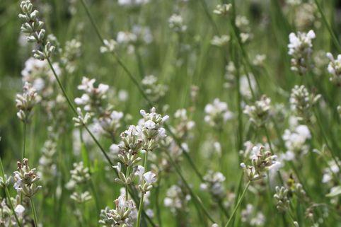 Weißer Lavendel 'Alba' - Lavandula angustifolia 'Alba'