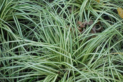 Weißgestreifte Vogelfuß Segge 'Variegata' - Carex ornithopoda 'Variegata'
