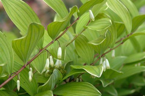 Weißrandiges Salomonssiegel 'Variegatum' - Polygonatum odoratum var. pluriflorum 'Variegatum'