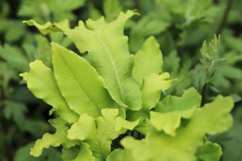 Welliger Hirschzungenfarn 'Crispa' - Asplenium scolopendrium 'Crispa'