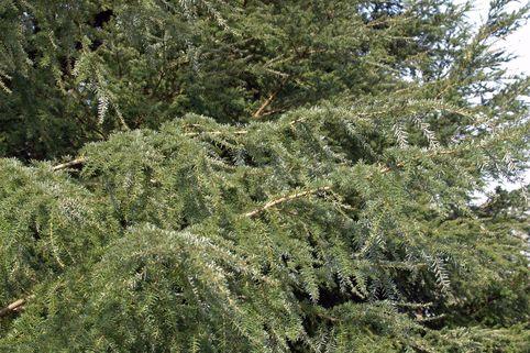 Westamerikanische Hemlocktanne heterophylla - Tsuga heterophylla
