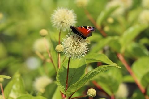 Westlicher Knopfbusch 'Fiber Optics' - Cephalanthus occidentalis 'Fiber Optics'