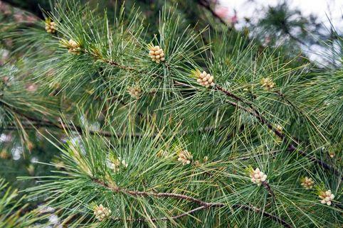 Weymouths-Kiefer / Strobe / Eastern White Pine - Pinus strobus