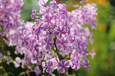Wiesen-Flammenblume 'Natascha' - Phlox maculata 'Natascha'