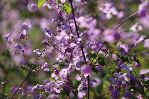 Wiesenraute 'Splendid' - Thalictrum delavayi 'Splendid'