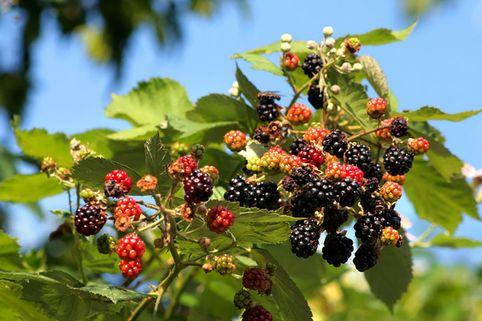Wilde Brombeere - Rubus fruticosus