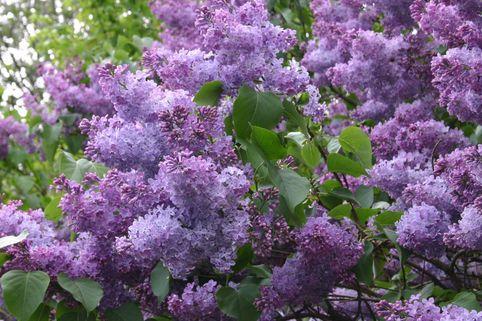 Wildflieder / Gemeiner Flieder - Syringa vulgaris