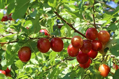 Wildpflaume / Kirschpflaume / Wilde Mirabelle - Prunus cerasifera
