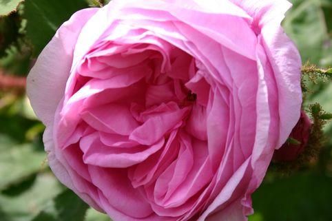 Moos-Rose / Wildrose 'Muscosa' - Rosa centifolia 'Muscosa'