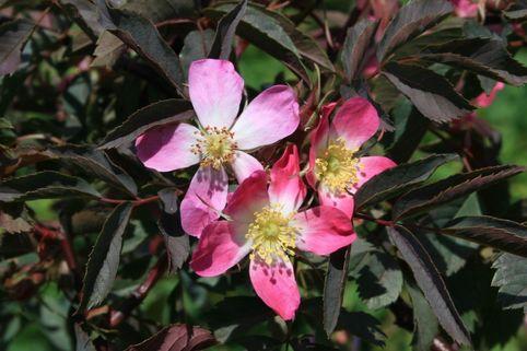Wildrose Hechtrose / Rotblättrige Rose glauca - Rosa glauca
