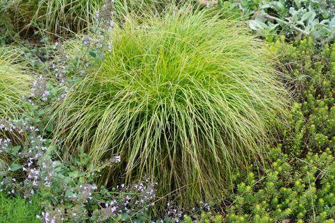 Winkel-Segge - Carex remota