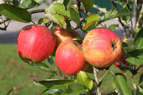 Winterapfel 'Finkenwerder Herbstprinz' / 'Roter Hasenkopf' - Malus 'Finkenwerder Herbstprinz' / 'Roter Hasenkopf'