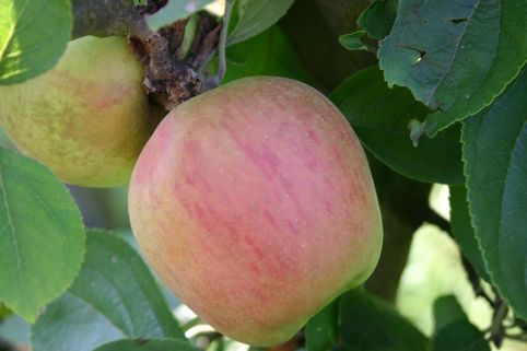 Winterapfel 'Hildesheimer Goldrenette' - Malus 'Hildesheimer Goldrenette'