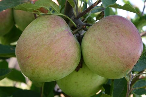 Winterapfel 'Laxtons Superb' - Malus 'Laxtons Superb'