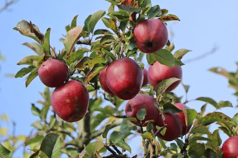 Winterapfel 'Red Delicious', `Roter Delicious' - Malus 'Red Delicious', 'Roter Delicious'