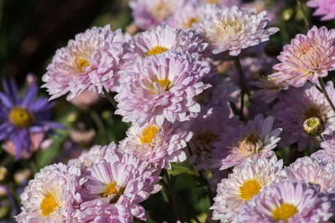 Winteraster 'Andante' - Chrysanthemum x hortorum 'Andante'