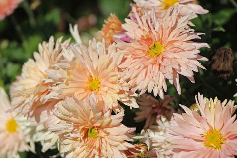 Winteraster 'Apricot' - Chrysanthemum x hortorum 'Apricot'