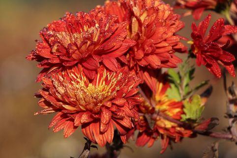 Winteraster 'Brennpunkt' - Chrysanthemum x hortorum 'Brennpunkt'