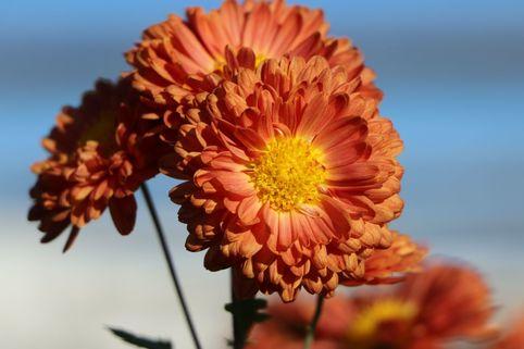 Winteraster 'Bronzekrone' - Chrysanthemum x hortorum 'Bronzekrone'