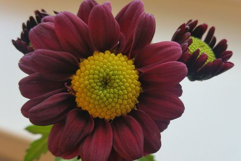 Winteraster 'Dark Handsome' - Chrysanthemum x hortorum 'Dark Handsome'