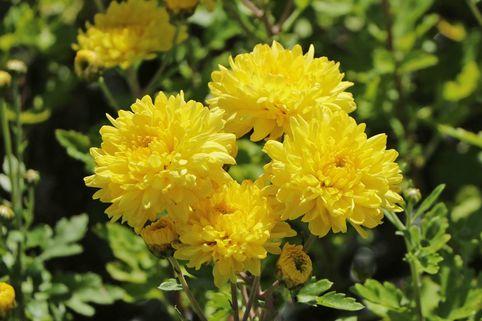Winteraster 'Friederike' - Chrysanthemum x hortorum 'Friederike'