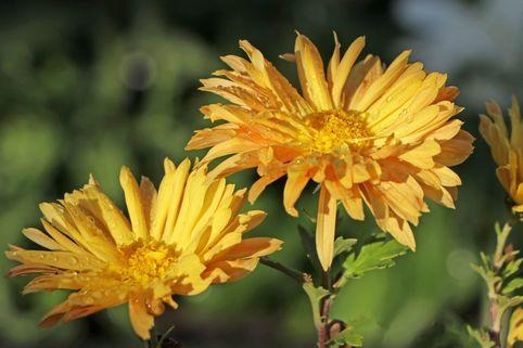 Winteraster 'Für Eliese' - Chrysanthemum x hortorum 'Für Elise'