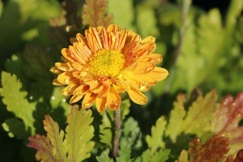 Winteraster 'Goldmarianne' - Chrysanthemum x hortorum 'Goldmarianne'