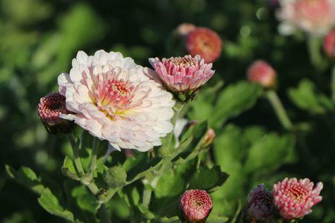 Winteraster 'Julia' - Chrysanthemum x hortorum 'Julia'