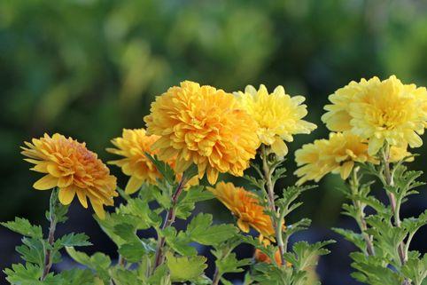 Winteraster 'Juliane' - Chrysanthemum x hortorum 'Juliane'