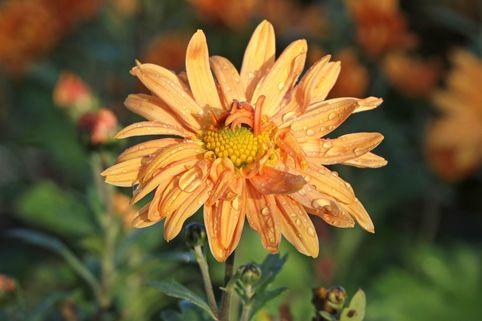 Winteraster 'Kleiner Bernstein' - Chrysanthemum x hortorum 'Kleiner Bernstein'