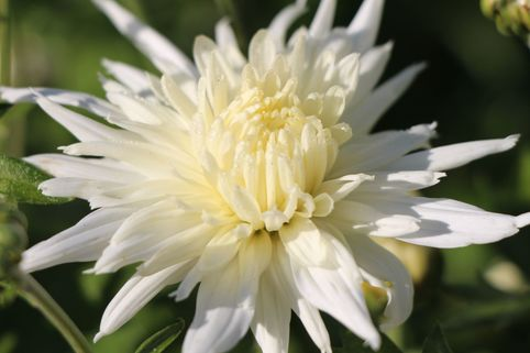 Winteraster 'Larry' - Chrysanthemum x hortorum 'Larry'