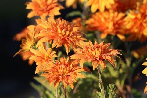 Winteraster 'Mandarine' - Chrysanthemum x hortorum 'Mandarine'