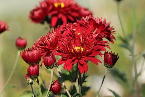 Winteraster 'Oktoberpracht' - Chrysanthemum x hortorum 'Oktoberpracht'
