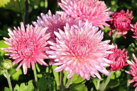 Winteraster 'Orchid Helen' - Chrysanthemum x hortorum 'Orchid Helen'