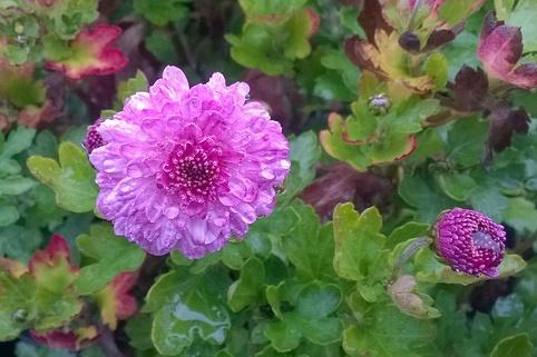 Winteraster 'Rotes Julchen' - Chrysanthemum x hortorum 'Rotes Julchen'