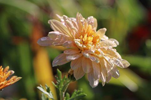 Winteraster 'Scherzo' - Chrysanthemum x hortorum 'Scherzo'