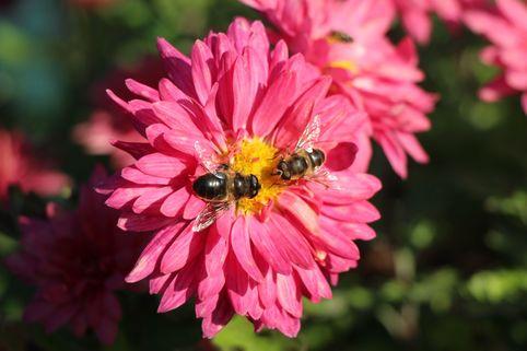 Winteraster 'Schloßtaverne' - Chrysanthemum x hortorum 'Schloßtaverne'