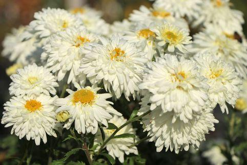 Winteraster 'Schneewolke' - Chrysanthemum x hortorum 'Schneewolke'