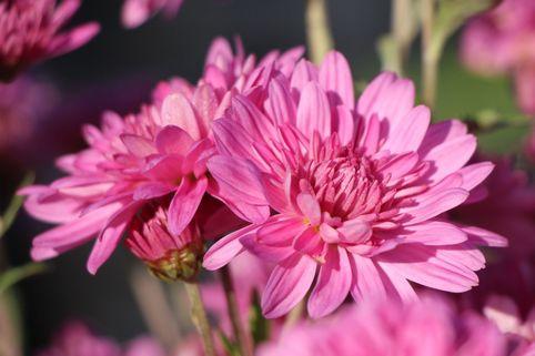 Winteraster 'Schweizerland' - Chrysanthemum x hortorum 'Schweizerland'