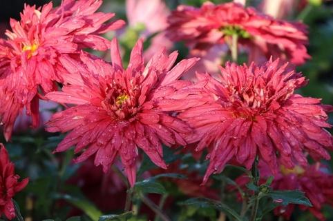 Winteraster 'Vesuv' - Chrysanthemum x hortorum 'Vesuv'