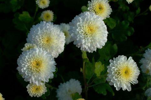 Winteraster, weiß gefüllt - Chrysanthemum x hortorum, weiß gefüllt